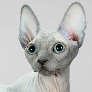 Sphynx-cat-Champion-Bleu