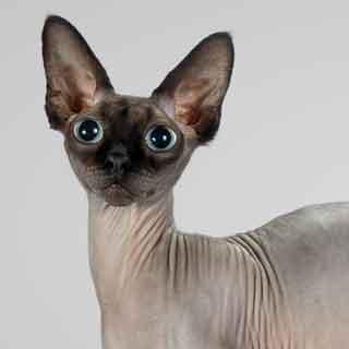 Sphynx-cat-quadruple-grand-champion-Juno