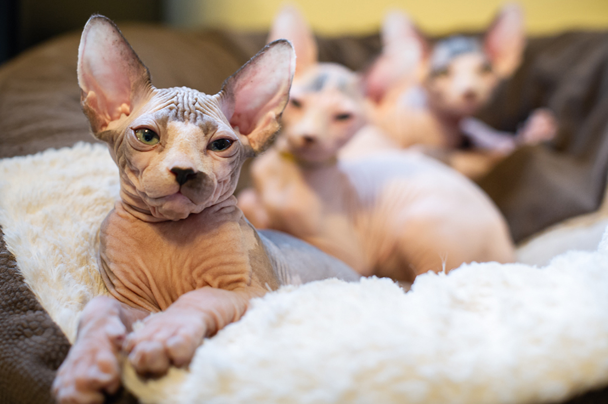 Sphynx Kittens Available - Begin The Purchase Process