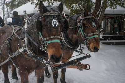 Canadian draft horses in the Adirondacks, NY