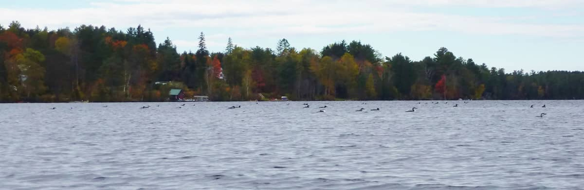 Loons on Lake Clear