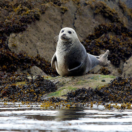 Grey seal on rocks during an eco tour of the Great Blasket Island off the Dingle Peninsula, Ireland