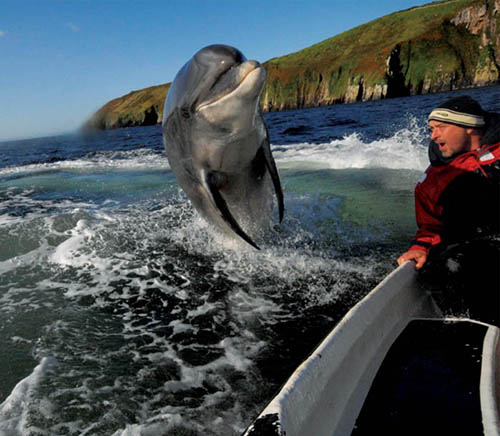 Fungi, the Dingle Dolphin, jumping near a boat in Dingle bay. Visiting Fungi has become of the the classic things to do in Dingle, Ireland