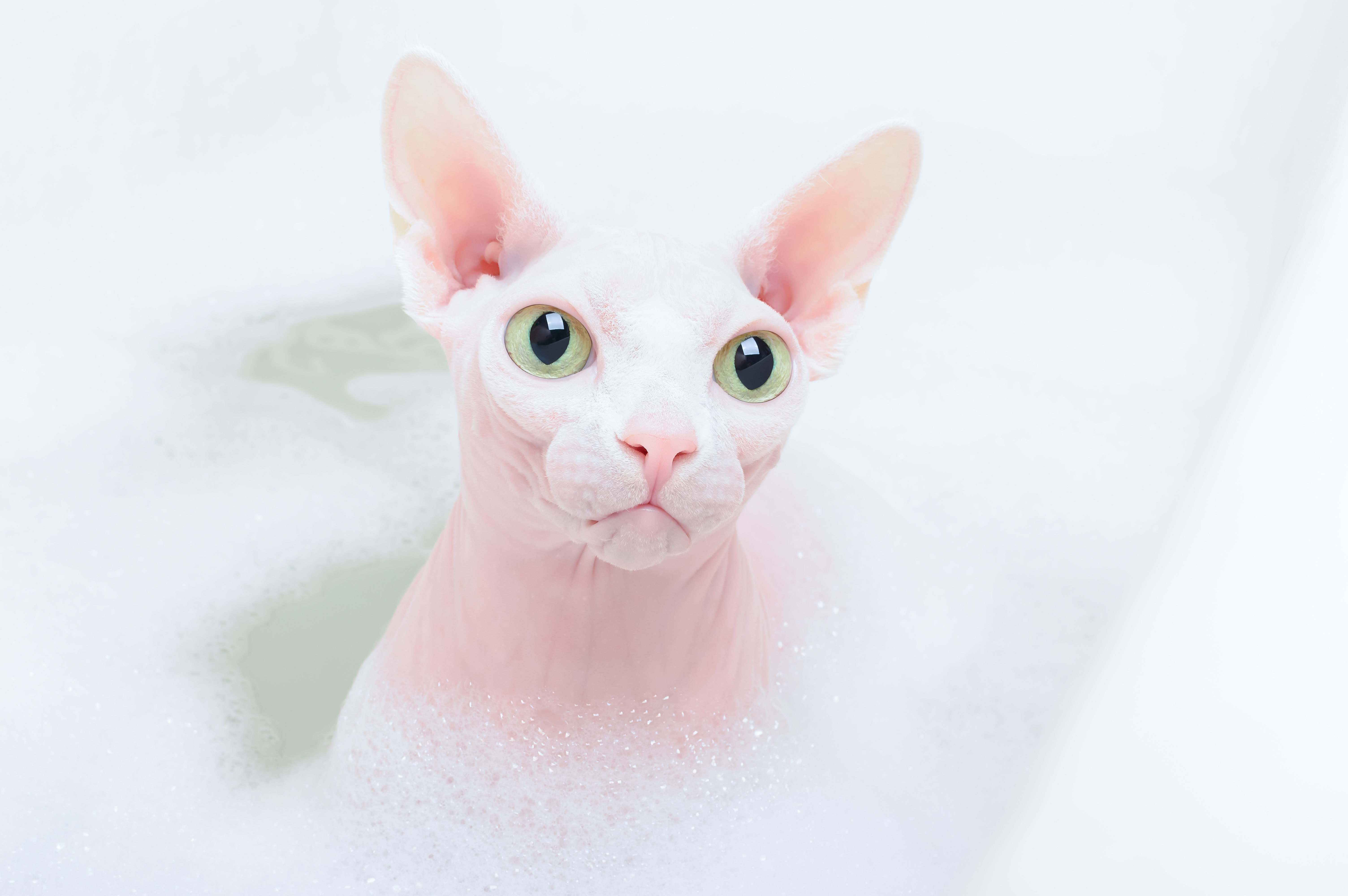 Annie's Sphynx Cattery