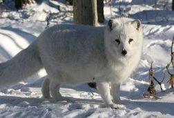 Arctic Fox Ranua