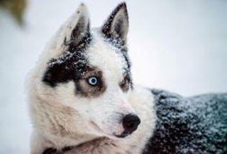 Blue eyes husky dog