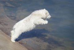 Polar bear cube