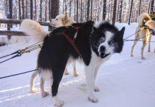 Siberian Husky safari Rovaniemi