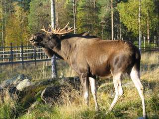 Elk Summer Ranua