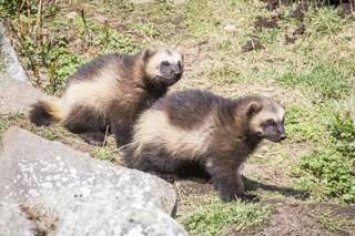 Wolverine Ranua zoo