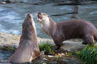 Otter in Ranua