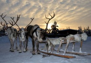 Visit a husky kennel and reindeer farm and learn about their habits and Lappish culture