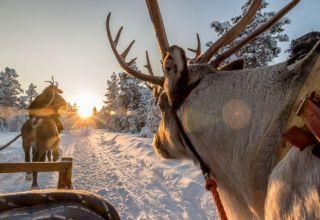 Reindeer and husky safari
