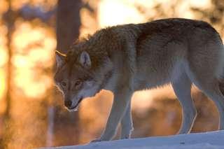 Grey wolf in Ranua wild-life park