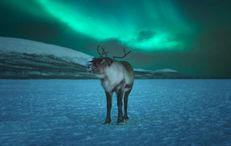 Northern Lights & reindeer