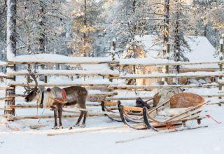 Reindeer farm tour