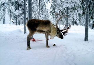 Rangifer tarandus Rovaniemi