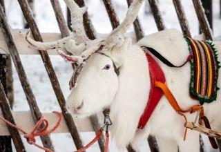 The Finnish forest reindeer