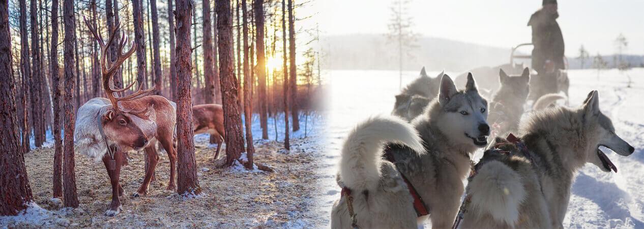 Husky Safari, Reindeer Safari in Lapland, Rovaniemi, Christmas Holidays