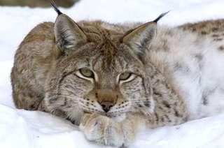 Ranua Wildlife park, Lynx