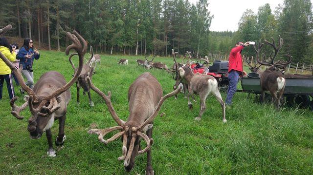 Reindeer farm, Rovaniemi, Finland