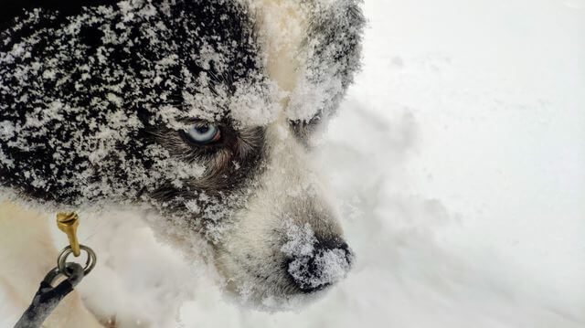 Husky dog. He's name is Pappa
