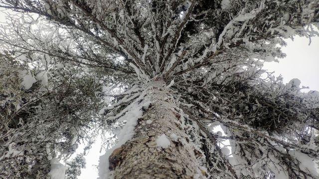 Pine tree 🌲