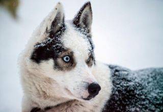 The Siberian Husky is a beautiful dog breed with a thick coat that comes in a multitude of colors and markings.
