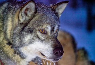 It is easy to see why many are drawn to the Siberian's wolf-like looks
