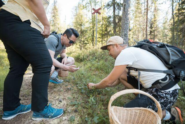 Picking berries in Lapland