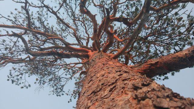 Lappish pine tree