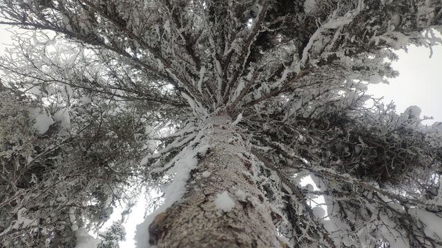 Beautiful snowy tree, Korouoma, frozen waterfalls