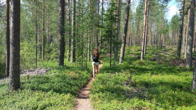 Sunny Lappish forest