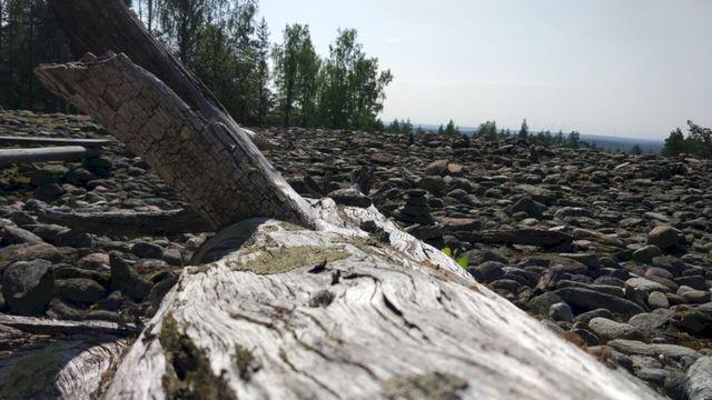 Fallen and dry Lappish pine tree