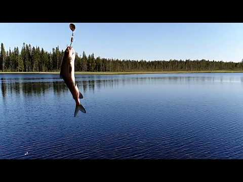 Greyling fishing in 20km from Rovaniemi, Finland