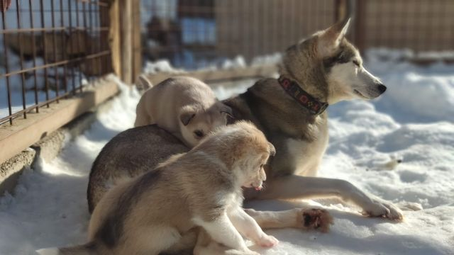 Husky puppies and adults need quite a bit of attention. They are social and friendly and require some furry and human friends with interaction on a frequent basis.