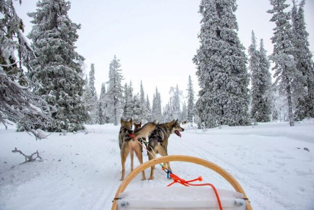 Experience the thrill of a Husky sleigh ride on the crystal white snow. Join us for a Husky safari and visit the Husky Farm where you can play with puppies, learn more about the life in the North, and have an adventure of a lifetime.