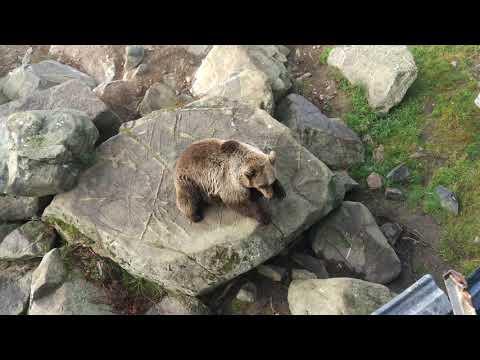 Brown bear Ranua zoo