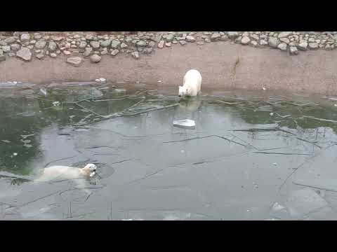 Polar bears in Ranua Zoo