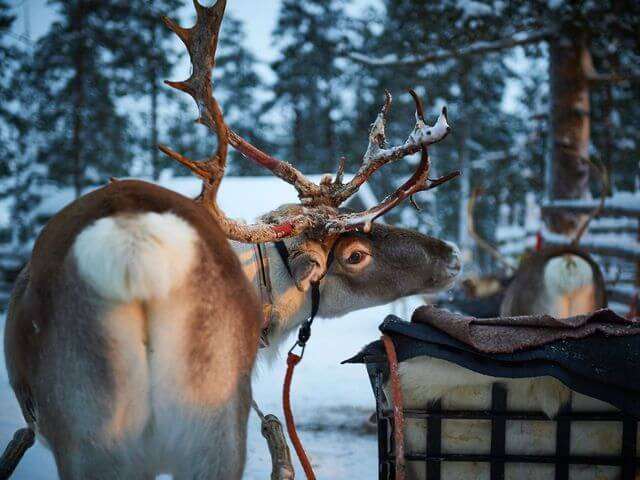 Northern lights hunting by a reindeer sleigh