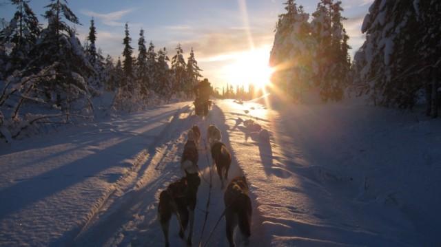 Husky dog, Lapland