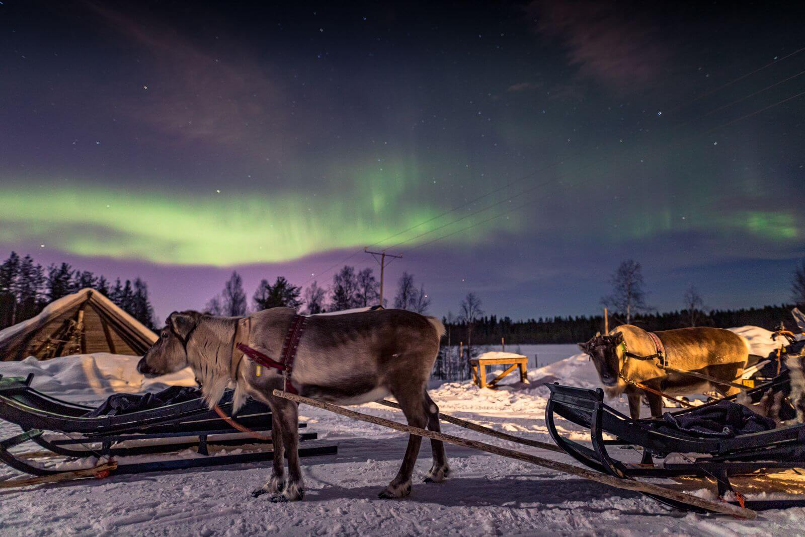 Reindeer sleigh ride is an essential Finish experience. Feel the thrill of skimming through snowfields, and get your Reindeer Driving license!