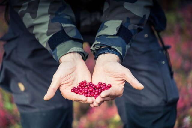 Wild lingonberries