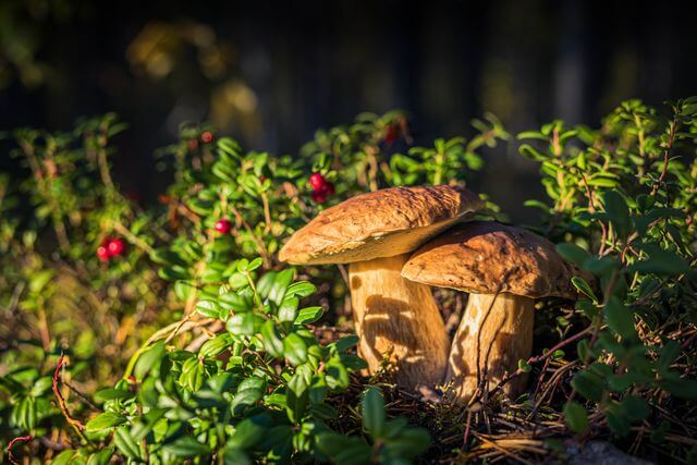 Boletus fungus - king of mushrooms!