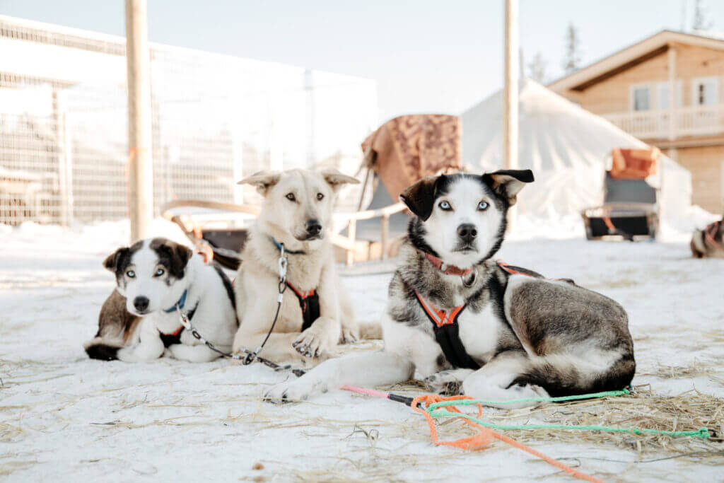 A perfect way to enjoy the thrill of mushing a dog team with your family. Meet dogs, learn how to drive your sled and then head of for a thrilling dash through the magical snowy forest. Afterwards there will be time to mingle with the dogs, have a snack with juice and cookies around the fire.