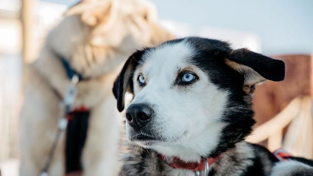 Alaskan Husky waiting for the run.