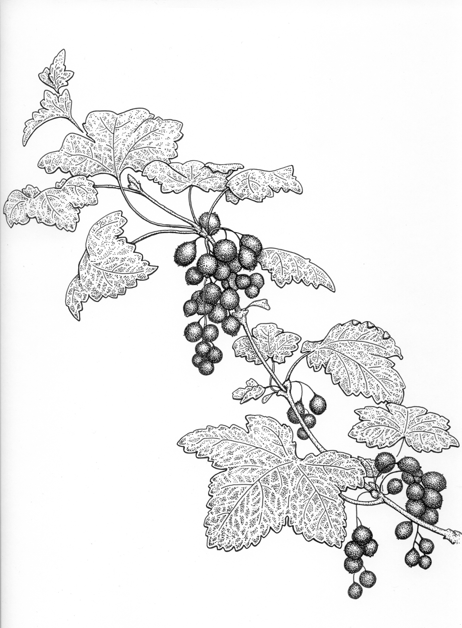 Trailing black currant drawing, currant berries, skunk currant, botanical illustration, edible berries drawing