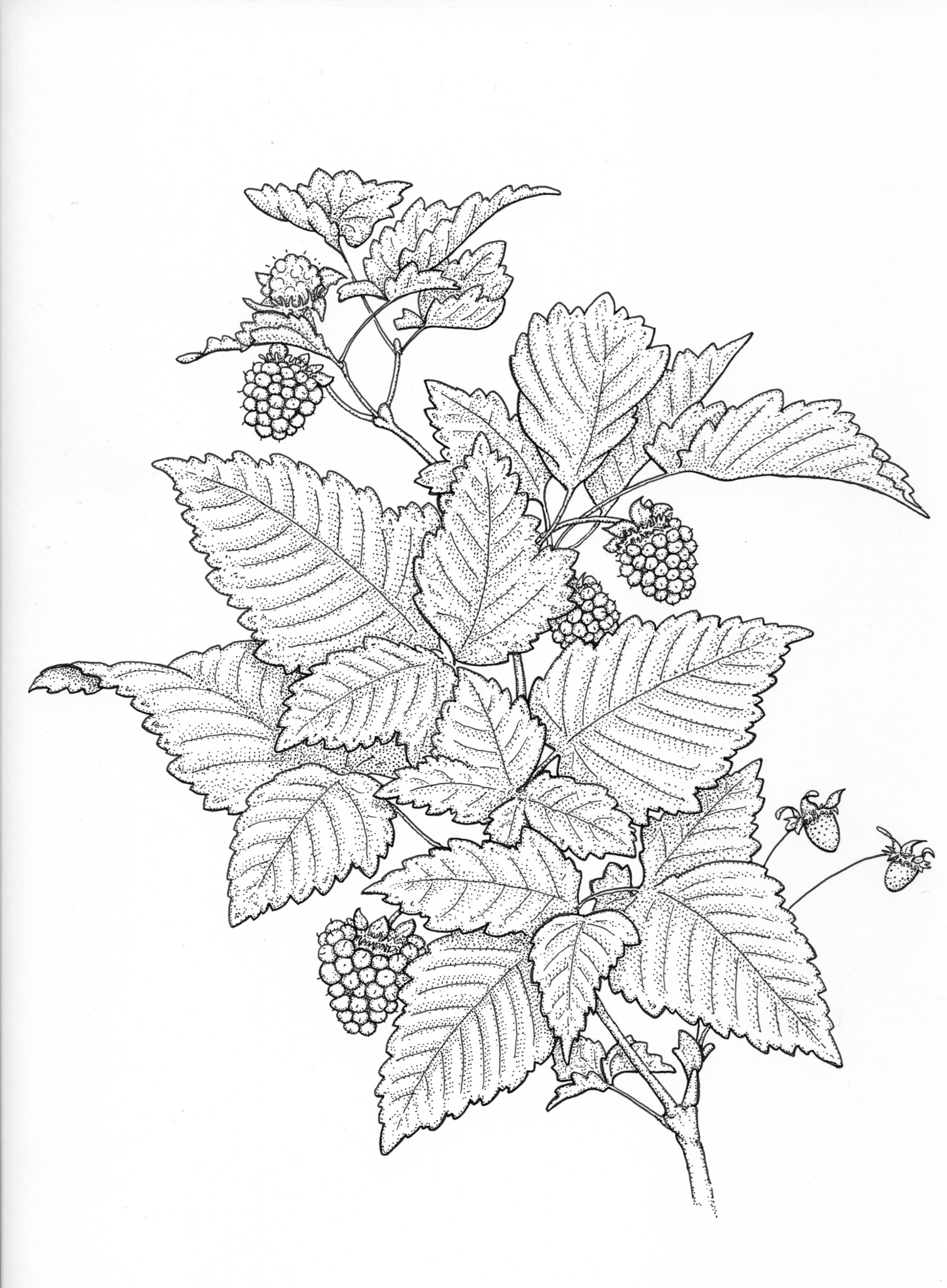 Salmonberry drawing, Rubus spectabilis, edible berries drawing