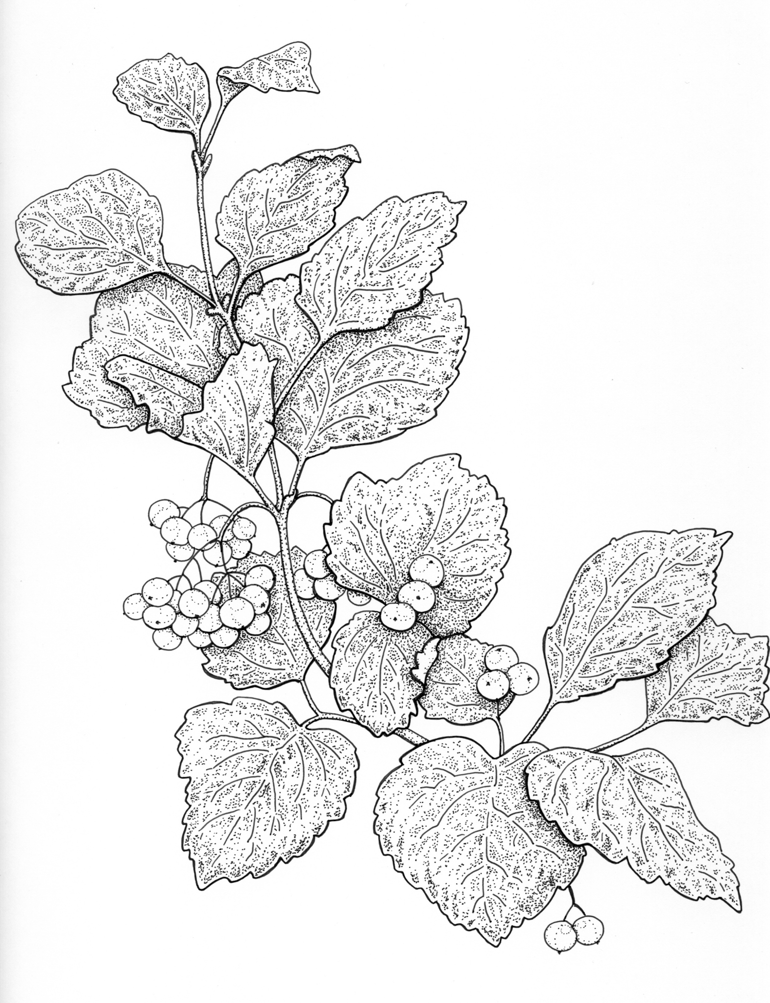High bush cranberry drawing, high-bush cranberry, edible berries, Viburnum illustration