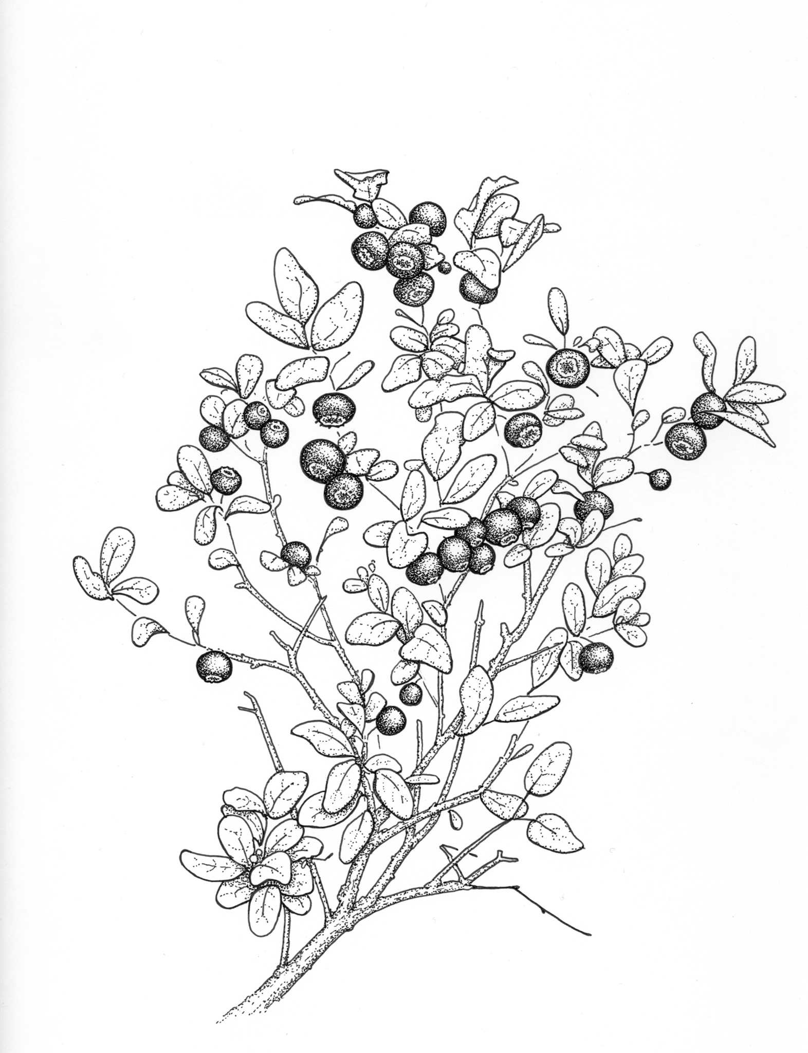 Wild blueberry drawing, huckleberry, oval-leaf blueberry, high bush blueberry, edible berries, foraging, Alaskan, alaska